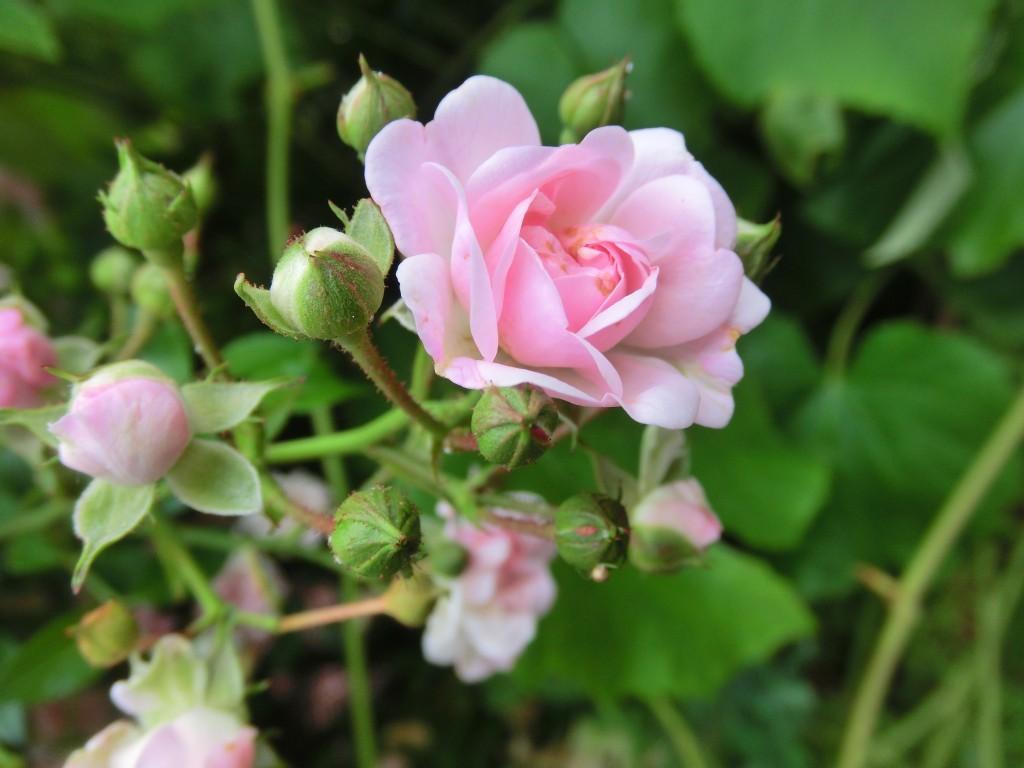 Alte Sorte einer Rose