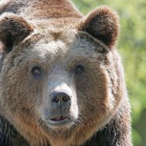 Bär Thusis: Wird er Siedlungen zu nahekommen und geschossen werden? Oder bleibt er scheu? (Archivfoto Bär)